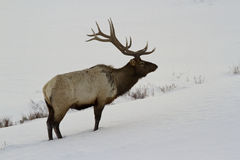 Bull elk in snow. This is a 6x6 bull elk in the snow at yellowstone Royalty Free Stock Photography