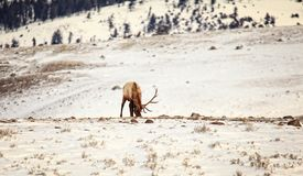 Bull Elk in the Snows of Yellowstone Stock Image