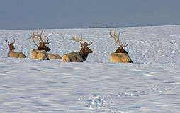 Bull Elk On Snowy Ridge Royalty Free Stock Image