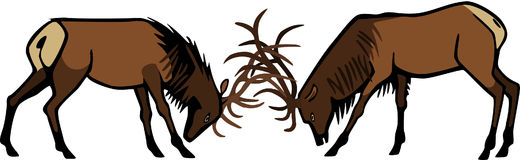Bull Elk Sparring Royalty Free Stock Images
