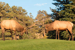 Bull Elk Sparring Stock Images