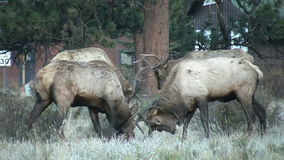 Bull Elk Sparring Royalty Free Stock Photos