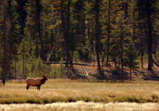 Bull Elk Standing in Environment. Bull elk standing in his environment royalty free stock photography