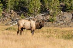 Bull Elk Standing in Meadow Stock Photos