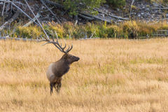 Bull Elk Standing in Meadow Stock Images