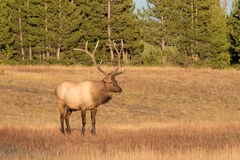 Bull Elk Standing in Meadow Stock Photos