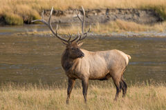 Bull Elk Standing Royalty Free Stock Photo