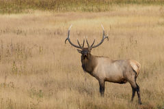 Bull Elk Standing in a Meadow Stock Images