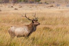 Bull Elk Standing in Meadow Royalty Free Stock Image