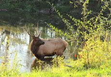 Bull elk standing in pond. Bull elk at Land Between the Lakes standing in pond with water dripping from its mouth Stock Photo