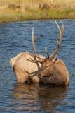 Bull Elk Standing in River Stock Images