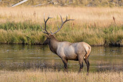 Bull Elk Standing in River Stock Images