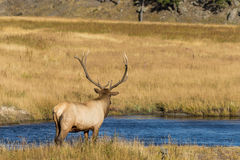 Bull Elk Standing by River Stock Images