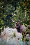 Bull Elk Standing in the Sage Royalty Free Stock Photos