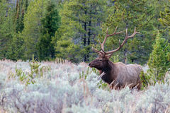 Bull Elk Standing in the Sage Royalty Free Stock Image