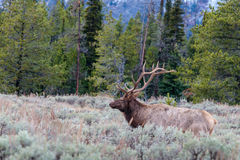 Bull Elk Standing in the Sage Stock Photos