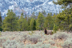Bull Elk Standing in the Sage Stock Images