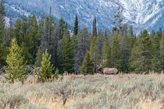 Bull Elk Standing in the Sage Stock Photography