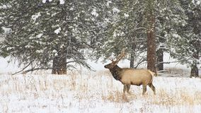 Bull elk standing in a snowstorm. A large bull elk stands in a winter snowstorm in Rocky Mountain National Park, Colorado, USA Stock Photography