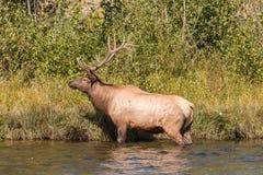 Bull Elk Standing in Stream Stock Photo