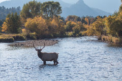 Bull Elk Standing in Stream Royalty Free Stock Photo