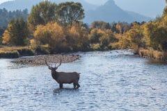 Bull Elk Standing in Stream. A rutting bull elk standing in a stream Royalty Free Stock Photo