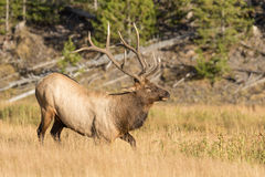 Bull Elk Standing Up Royalty Free Stock Photos