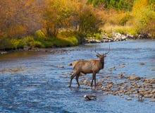 Bull Elk in Stream Stock Image