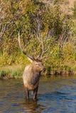 Bull Elk in Stream Stock Photography
