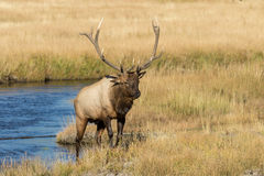 Bull Elk by a Stream Stock Photo