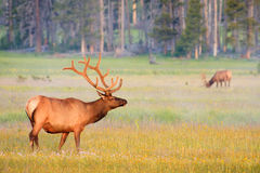 Bull Elk in summer velvet antlers, Yellowstone. Stock Image