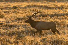 Bull Elk at Sunrise Royalty Free Stock Images