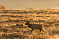 Bull Elk at Sunrise in Fall Stock Image