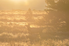 Bull Elk at Sunrise Stock Photos