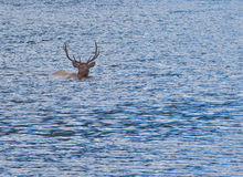 Bull Elk Swimming Stock Photography