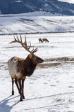 Bull Elk. A bull elk takes a break from grazing Stock Photos