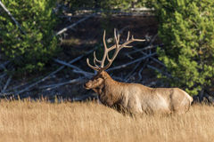 Bull Elk in Tall Grass Stock Photography