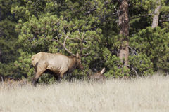 Bull Elk Tending a Cow Stock Images