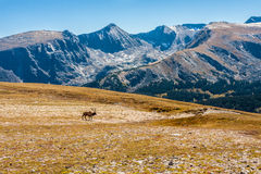 Bull Elk on Tundra, Mountains in Background Royalty Free Stock Photography