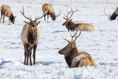 Bull Elk. Two bull elk on the National Elk Refuge in Jackson, Wyoming Royalty Free Stock Photo
