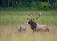 Bull Elk Unsuccessfully Tries to Mate with Cow Royalty Free Stock Photography