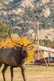 Bull Elk in Urban Area Royalty Free Stock Photos