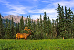 Bull Elk in Velvet Stock Photo