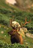 Bull Elk in Velvet Royalty Free Stock Images