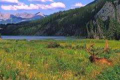 Bull Elk in Velvet Bedded. A big bull elk in velvet bedded in green grass with mountain landscape Stock Photo