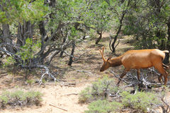 Bull Elk in Velvet. Browsing on the South Rim of the Grand Canyon in July Stock Photo