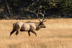 Bull Elk Walking Across a Meadow Royalty Free Stock Images
