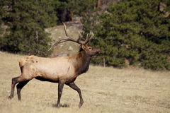 Bull Elk Walking Royalty Free Stock Photography