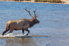 Bull Elk Walking in Lake Stock Photography
