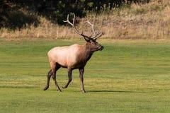 Bull Elk Walking Stock Images